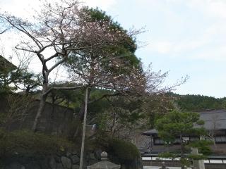 十月桜全体