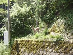 7月12日高野山駅近くで鹿発見