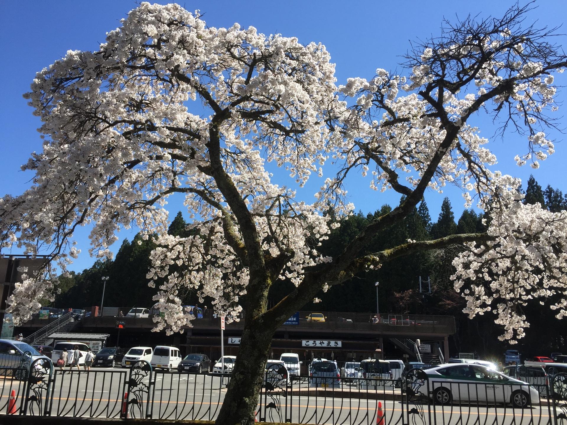 高野山の桜2017
