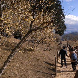宝塔山の梅