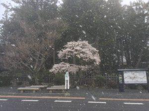 高野山の桜with雪景色2018